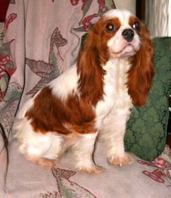 Windy Knolls Kennel Cavalier King Charles Spaniels And Golden