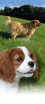 King charles Cavalier and Golden Retriever Puppies